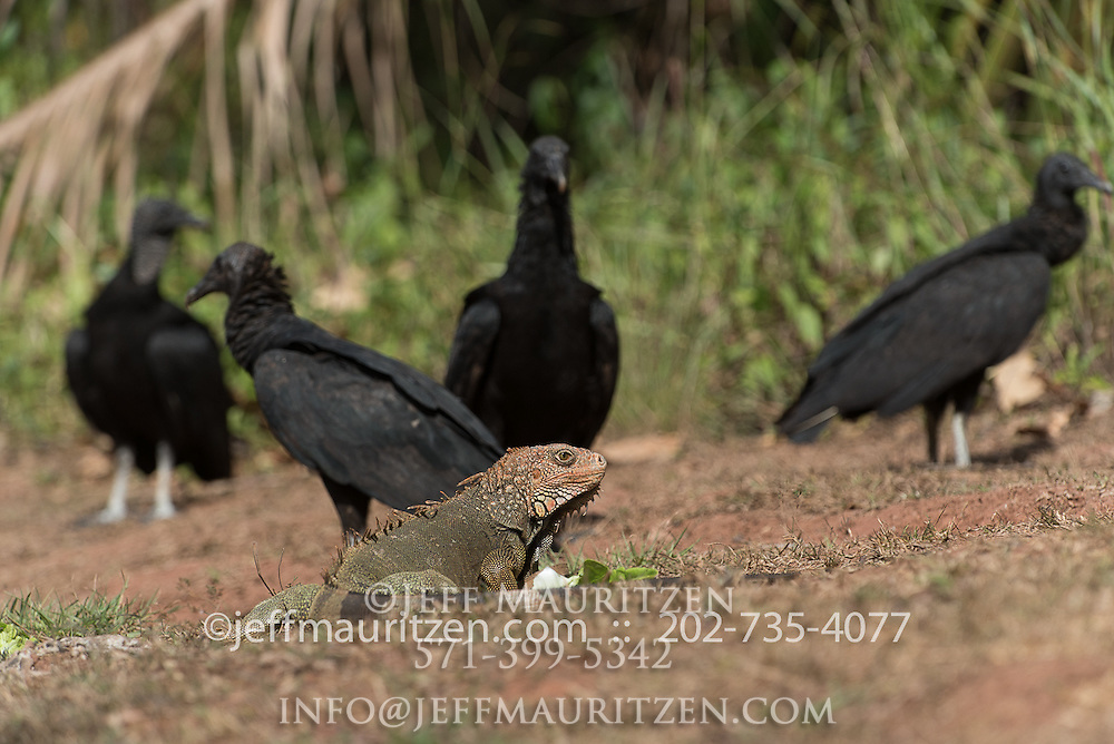A green iguana is surrounded by American black vultures on Coiba Island, Panama.