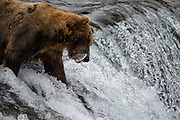 "A brown bear known as ""775"" or ""Lefty"" catches a sockeye salmon as it attempts to leap the falls on the Brooks River, Katmai National Park, Alaska."