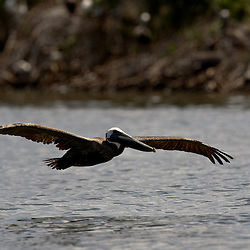 A Brown Pelican glides over the surface of the water at Cat Island off the coast of Louisiana on Thursday, June 17 2010. Oil from the Deepwater Horizon spill continues to impact areas across the coast of gulf states.