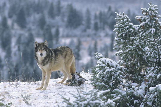 Gray Wolf, (Canis lupus) Rocky mountains. Montana. Winter. Captive Animal.