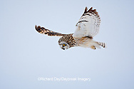 01113-01220 Short-eared Owl (Asio flammeus) in flight at Prairie Ridge State Natural Area, Marion Co., IL