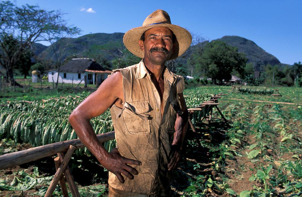 Tobacco Harvest, Valle de Vinales, Pinar del Rio, Western Cuba, Cuba, Caribbean