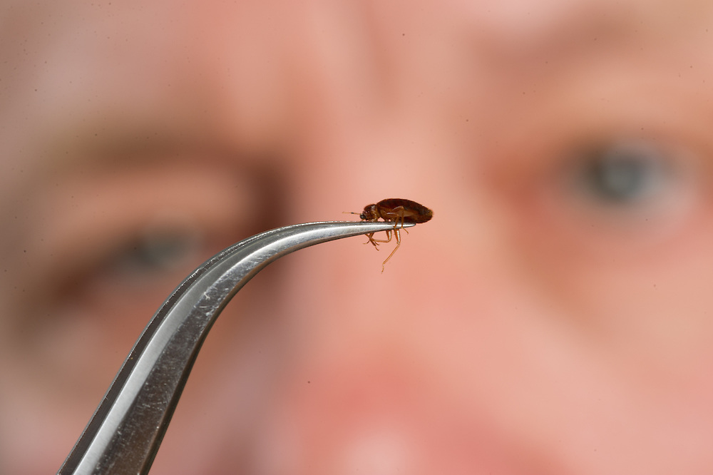 Man studying bed bug