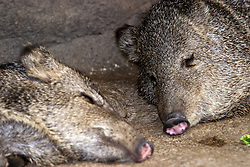 03 July 2006:   A peccary is a medium-sized hoofed mammal of the family Tayassuidae in the suborder Suina along with the Old World pigs, Suidae. They are found in the southwestern area of North America and throughout Central and South America