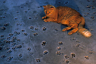 "USA, Vereinigte Staaten Von Amerika: Hauskatze (Felis catus domesticus), Felidae, Katze ruht sich auf dem ?walk of fame? im Hof aus, Fußabdrücke von Katzen im Beton, Hemingway Haus und Museum, Key West, Florida | USA, United States Of America: Domestic cat (Felis catus domesticus), Felidae, cat resting on the ""walk of fame"" in the yard, foot prints of cats in concrete, Hemingway Home and Museum, Key West, Florida 