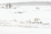 Polar bear (Ursus maritimus) on Hudson Bay coast<br />