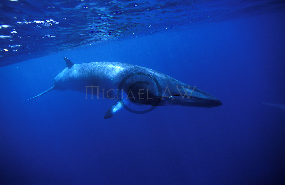 Minke whale in Blue - Balaeonoptera acutorostrata - near surface. Great Barrier Reef, Queensland, Australia