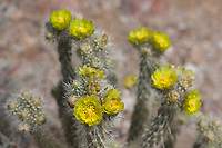 Cylindropuntia echinocarpa (Silver cholla) at Cold Canyon, San Diego Co, CA, USA, on 09-Apr-17