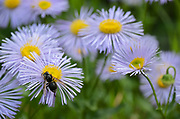 Bald-faced hornet feeding on nectar in an aster. Yaak Valley in the Purcell Mountains, northwest Montana.