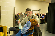 New York, NY - 16 February 2016. A Dogue de Bordeaux gets his coat sprayed in the benching area of the 140th Westminster Kennel Club Dog show in Madison Square Garden.
