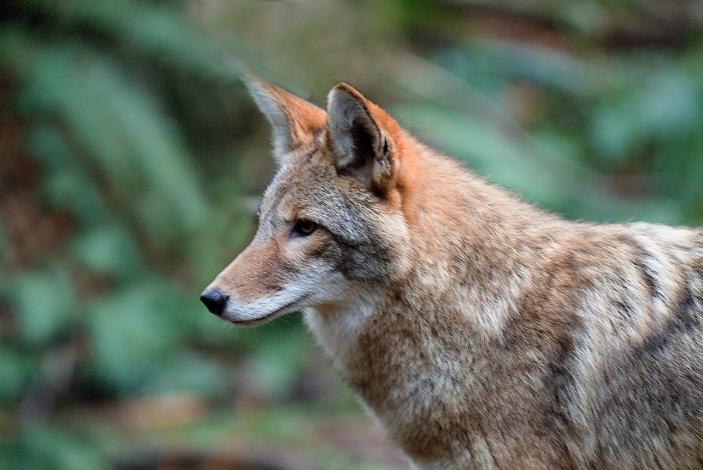A coyote (Canis latrans) in the temperate rain forest of the Pacific Northwest states.