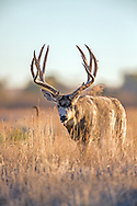 Large Mule Deer Buck in Open Habitat
