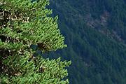 Swiss Stone Pine (Pinus cembra), Arolla Pine, High Tauern National Park (Nationalpark Hohe Tauern), Central Eastern Alps, Austria | Zirbel-Kiefer (Pinus cembra), Zirbelkiefer, Zirbel, Arve, Oberhauser Zirmwald, Nationalpark Hohe Tauern, , Osttirol in Österreich