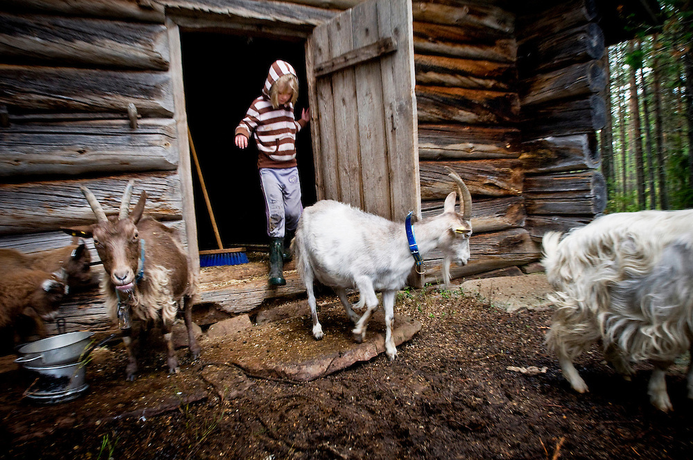 "Evelina Axelsson, 6,  chasing the goats out after milking. She lives with her family on a  ""Fäbod"" in the forests outside Älvdalen, Dalarna, Sweden...Photographer: Chris Maluszynski /MOMENT"