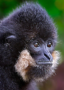A male gibbon in Laos.