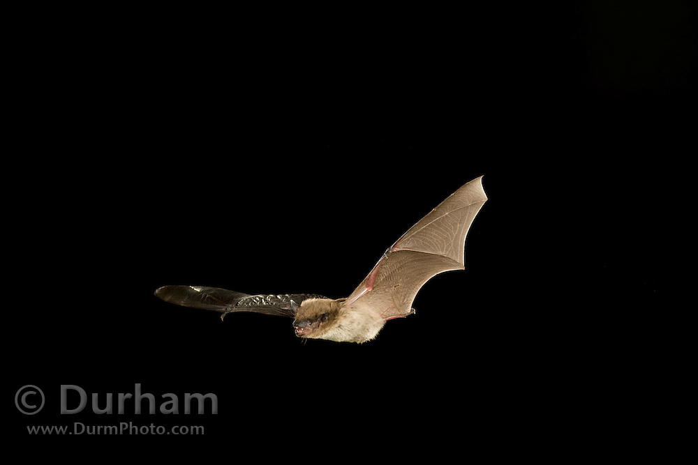 Evening Bat (Nycticeius humeralis) flying at night in the Stephen F. Austin Experimental Forest, Texas.