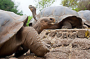 SAN CRISTOBAL, GALAPAGOS ISLANDS, ECUADOR: August 18, 2005 -- GALAPAGOS ISLANDS DAY 2  -- Galápagos giant tortoises (Geochelone nigra) on San Cristobal on Day 2 in the Galapagos Islands, Ecuador August 18, 2005...Steve McKinley Photo.