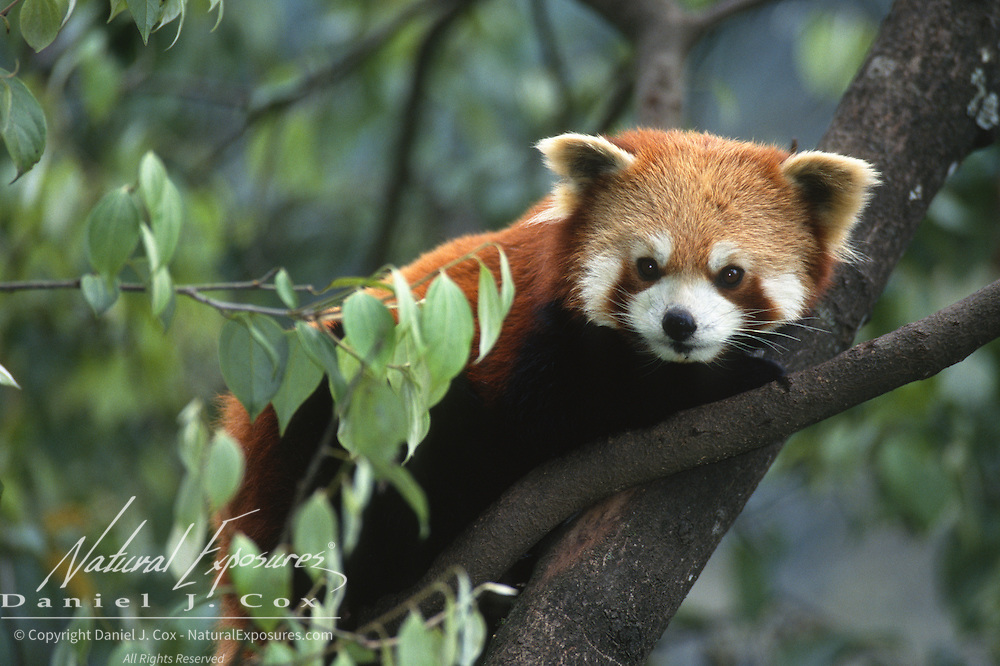 Red panda (Ailurus fulgens) in a tree in Wolong National Nature Reserve, Sichuan, China. Captive Animal