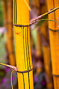 Bamboo stalk, Hawaii