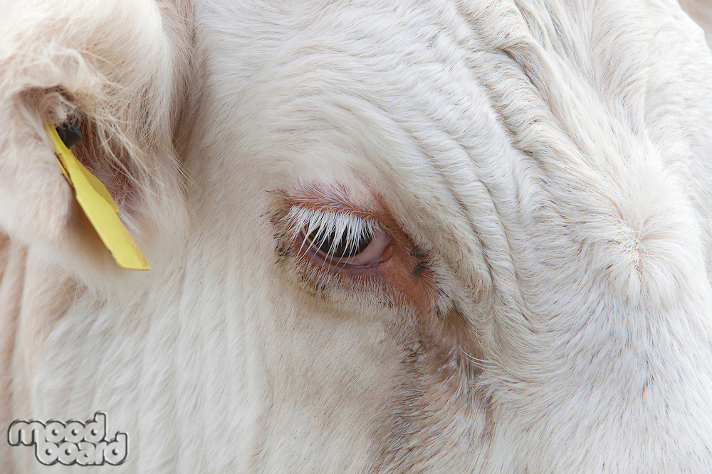 Close-up view of a Cow's eye in Essex, United Kingdom