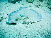 The sandy bottom makes a good hiding spot for a peacock flounder near Roatan, Honduras.