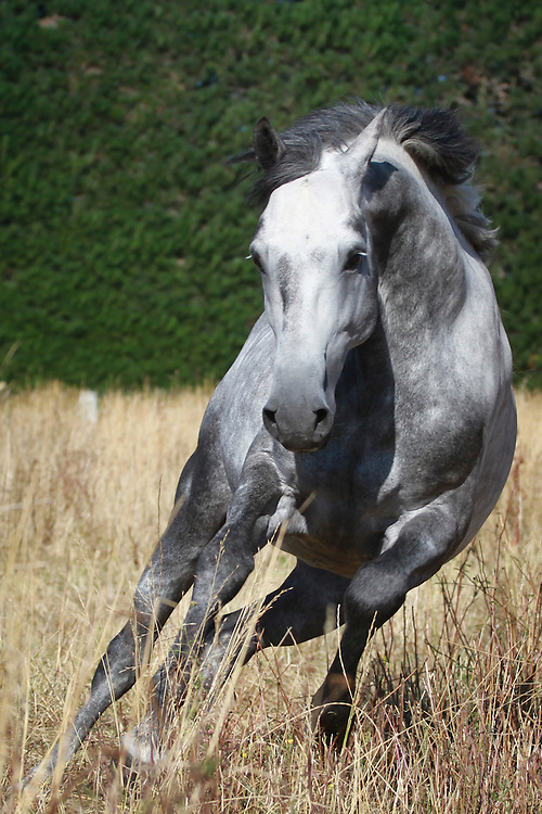 Grey warmblood stallion (X Prestige VDL X Maestro SWB)