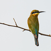 Blue Tailed Bee-eater (Merops philippinus)