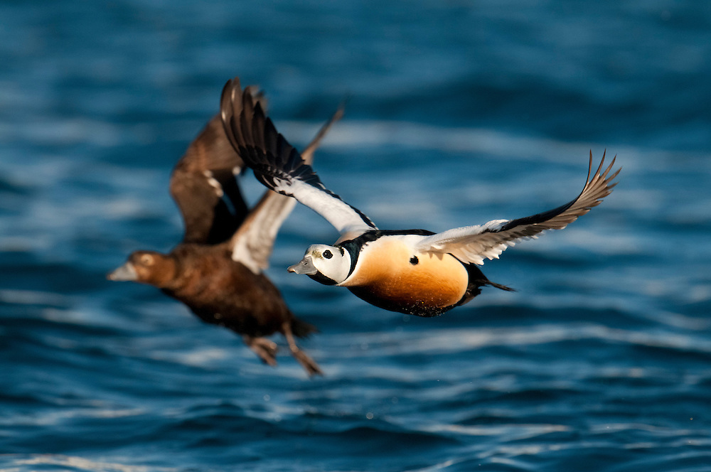 Steller's Eiders, Polysticta stelleri, male & female, Barent's Sea, Norway
