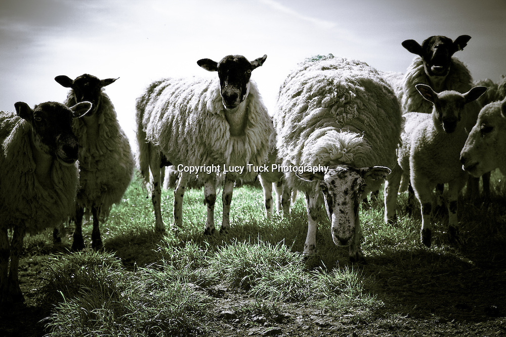 Curious flock of sheep, sheep looking at you, Farm Yard Animal Pictures