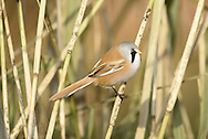 Bearded Tit/Bearded Reedling Panurus biarmicus - Male. L 16-17cm. Reedbed specialist with a rounded body and long tail. Distinctive call leads to affectionate nickname of 'pinger'. Forms flocks outside breeding season. Sexes are dissimilar<br />  Adult male has sandy brown body and tail, with black and white markings on wings. Head is blue-grey with black 'moustache'. beady yellow eye and yellow bill. Adult female is similar but head is sandy brown. Juvenile is similar to adult female but back is blackish, throat is whiter and eye colour is darker. Voice Utters diagnostic, high-pitched ping call. Song is seldom heard. Status Rather scarce and associated exclusively with extensive reedbeds.