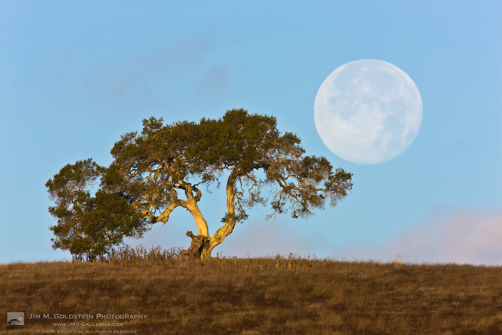 Perigee Moon & California Oak near the Monterey coast, California