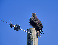 Ferruginous Hawk (Buteo regalis) perched on post, Calgary, Alberta, Canada - Photo: Peter Llewellyn