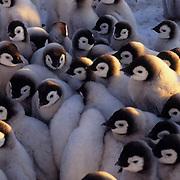 Emperor Penguin, (Aptenodytes forsteri) Chicks in creches to keep warm. Atka Bay. Antarctica.