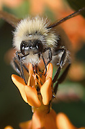 Carpenter Bee On An Orange Flower Pedal, Xylocopa micans