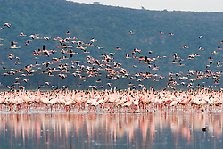 Lake Nakuru was the first place in Africa to be designated a National Park. Lake Nakuru is world famous for, and was created a national park to protect, its stunning flocks of lesser flamingo which literally turn its shores pink. / Flamingos no Parque Nacional Nakuru, o primeiro Parque Nacional na Africa, criado principalmente para proteger a enorme populacao de passaros.