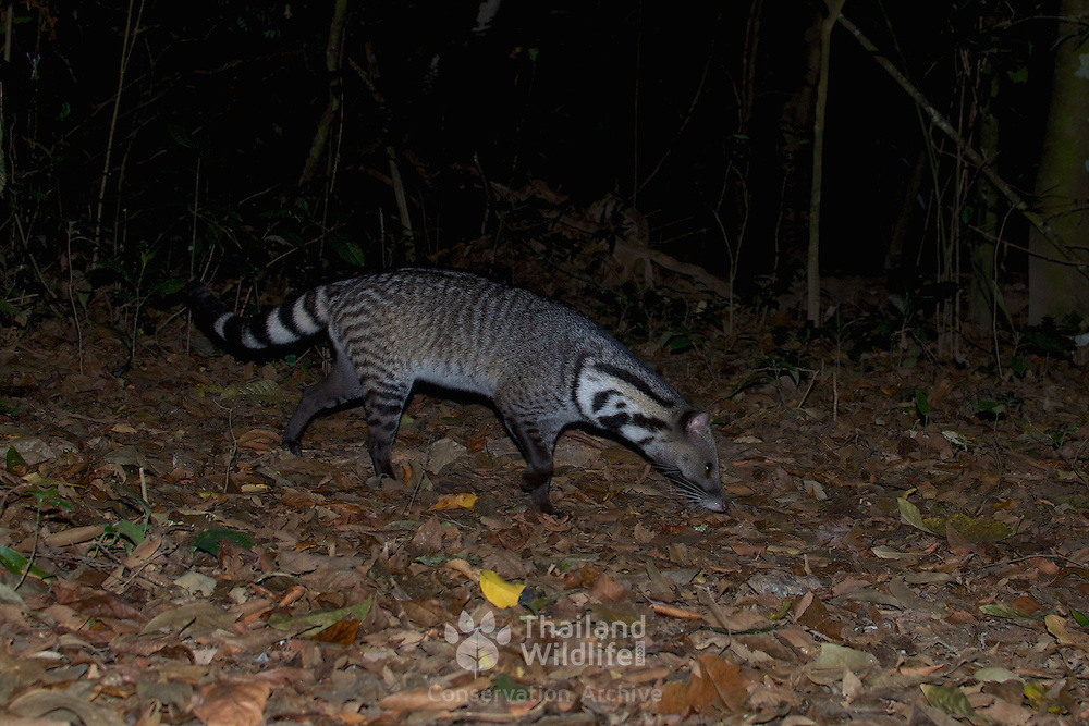 The large Indian civet (Viverra zibetha) in Kaeng Krachan National Park, Thailand.