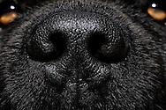 Rhinarium (Rhinarium) of a Newfoundland dog, domestic dog (Canis lupus familiaris). The area formed by the mucosa around the nostrils is hairless. Dogs are among the macrosmatic animals (nose animals),  their sense of smell plays an extremely important role. Compared to human the olfactory abilities of the dog is about a million times better. In the olfactory mucosa of a sheepdog there are about 220 million olfactory cells, in humans there are only  5 million. Dogs are able to breathe up to 300 times per minute. The olfactory cells are permanently supplied with scent particles, and passed the resulting information to the brain. Accordingly, the  olfactory brain of dogs are much more voluminous compared to humans (10% of the dog brain, 1% of the human brain). The dog's nose can differ between right and left, so that dogs smell in stereo. Newfoundland dog-breeding Stender, Neumuenster, Germany. / Nasenspiegel (Rhinarium) eines Neufundlaenders, Haushund (Canis lupus familiaris). Der durch Schleimhaut um die Nasenloecher gebildete Bereich ist haarlos. Hunde gehoeren zu den Makrosmatikern (Nasentiere), d.h. ihr Geruchssinn spielt eine ausserordentlich grosse Rolle. Im Vergleich zum Menschen ist das Riechvermoegen des Hundes um etwa eine Million mal besser ausgebildet.  Auf der Riechschleimhaut eines Schaeferhundes befinden sich ca. 220 Millionen Riechzellen, beim Menschen sind es lediglich um die 5 Millionen. Hunde sind in der Lage bis zu 300 mal pro Minute zu atmen. Die Riechzellen werden so permanent mit Duftpartikeln versorgt, und die anfallenden Informationen an das Gehirn weitergeleitet. Entsprechend voluminoes ist das Riechhirn von Hunden im Vergleich zum Menschen (10% vom Hundehirn, 1% vom Menschenhirn). Die Hundenase kann rechts und links unterscheiden, Hunde riechen also stereo. Neufundlaender-Zucht Stender, Neumuenster, Deutschland.