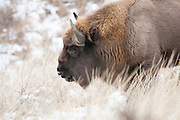 European bison (Bison bonasus) in winter dune landscape
