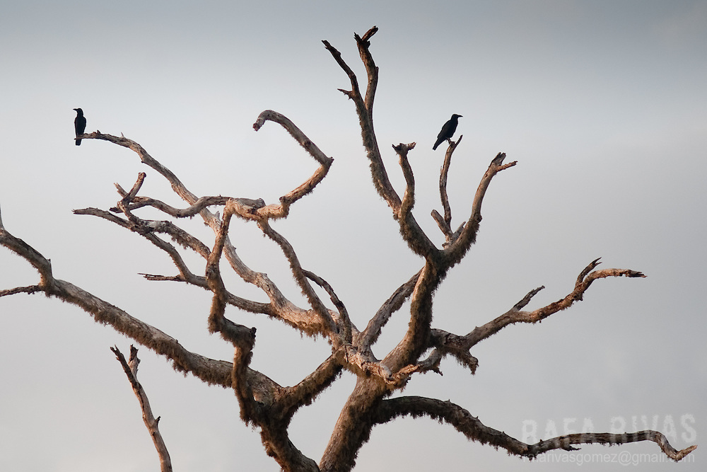 Crows rest in a tree in Yala National Park, in Sri Lanka, on February 2011. Photo Rafa Rivas