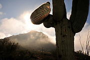 Winter storms brings fog and rain to Tucson Mountain Park, Sonoran Desert, Tucson, Arizona, USA.