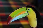 Boquete, Chiriqui  022108  Tuqui the tucan rules the restaurant and its surroundings at the Villa Marita Lodge in Boquete in the highlands of Panama. (Essdras M Suarez/Boston Globe)/Travel