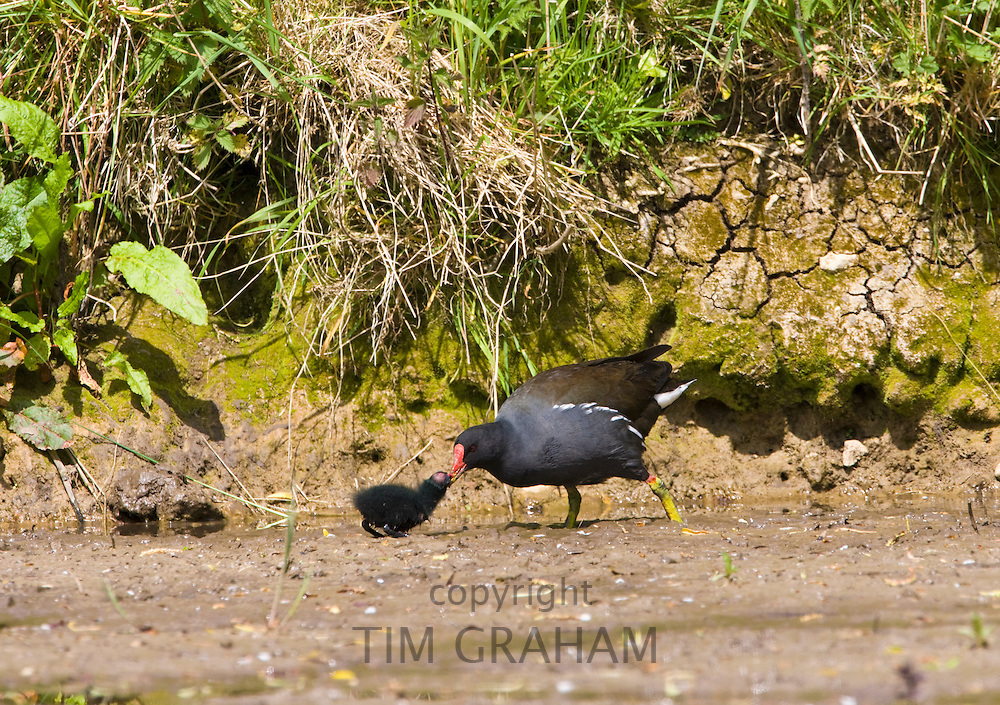 Moorhen feeds chick on a pond in Swinbrook, The Cotswolds, Oxfordshire, UK
