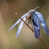 Zenithoptera fasciata, Trinidad