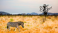 A zebra stands out against the brush in the Madikwe Game Reserve, North West, South Africa.