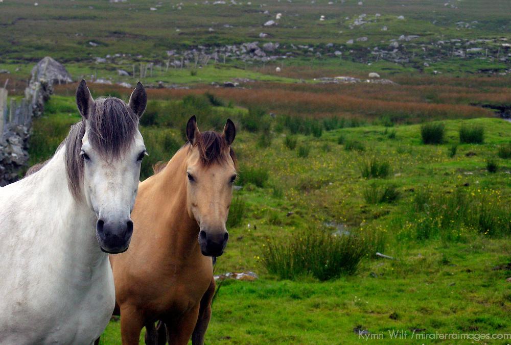 Europe, Ireland. Farm horses of the Connemara in Ireland.