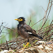 "The common myna (Acridotheres tristis), sometimes spelled mynah, also sometimes known as ""Indian myna"", is a member of the famil"