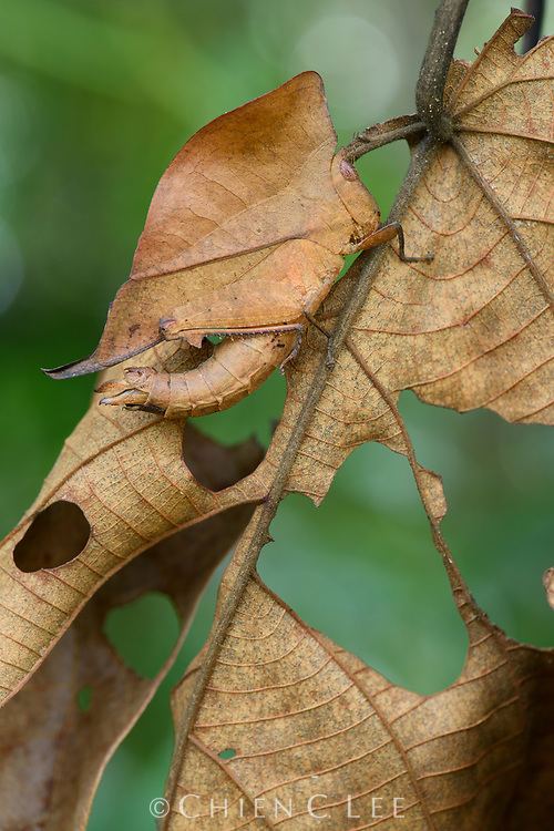 When approached by a potential predator, these amazingly camouflaged leaf grasshoppers (Chorotypus sp.) align their flattened bodies with the leaf they are perched on and remain completely still to accentuate their mimicry.