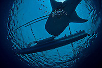 Images from West Papua and Raja Ampat region to include western Halmahera. Whale shark images and WWII wrecks taken around Cendrawasih Bay Preserve, Biak and Manokwari.<br /> Whale shark is Rhincodon typus.