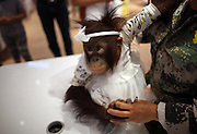 "KUNMING, CHINA - AUGUST 24: Famous red hair orangutan ""Er Mao\"" of Yunnan Wild Animals Park wears new clothes at a shopping mall on August 24, 2016 in Kunming, Yunnan Province of China. Famous red hair orangutan \""Er Mao\"" of Yunnan Wild Animals Park tried new clothes and finally bought three skirts with the help of its keeper at the children\'s wear store in a shopping mall on Wednesday in Kunming. <br /> ©Exclusivepix Media"