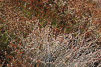 Eriogonum elongatum (Longstem buckwheat) at Grizzly Flat, Los Angeles Co, CA, USA, on 24-Sep-17